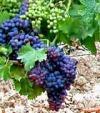 Uva per vino Cannonau di Sardegna