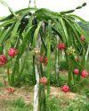 Pianta della pitaya
