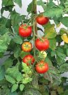 Solanum Lycopersicon