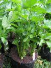 Sedano pianta