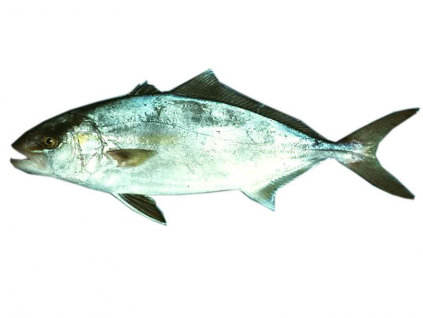 Ricciola pesce